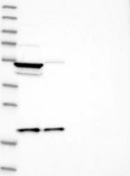 NBP1-83176 - MRPL18
