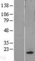 NBL1-13241 - MRPL18 Lysate