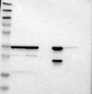 NBP1-84513 - MRPL2