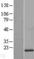 NBL1-13244 - MRPL20 Lysate