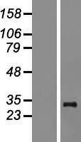 NBL1-13248 - MRPL24 Lysate