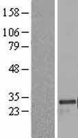 NBL1-13249 - MRPL24 Lysate