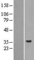 NBL1-13252 - MRPL28 Lysate