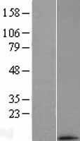 NBL1-13257 - MRPL33 Lysate
