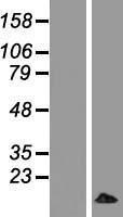 NBL1-13258 - MRPL33 Lysate