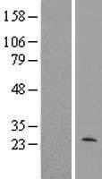 NBL1-13267 - MRPL40 Lysate