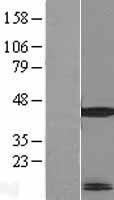 NBL1-13268 - MRPL41 Lysate