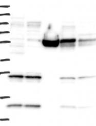NBP1-83171 - MRPL42