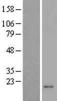 NBL1-13269 - MRPL42 Lysate