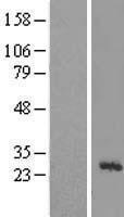NBL1-13270 - MRPL43 Lysate