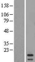 NBL1-13271 - MRPL43 Lysate