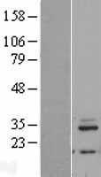 NBL1-13273 - MRPL46 Lysate