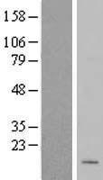 NBL1-13277 - MRPL50 Lysate