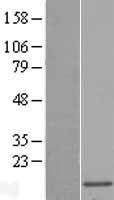 NBL1-13278 - MRPL51 Lysate
