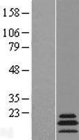 NBL1-13281 - MRPL54 Lysate