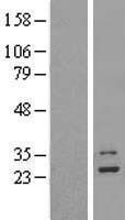 NBL1-13282 - MRPL9 Lysate