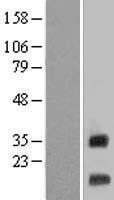 NBL1-13285 - MRPS12 Lysate