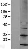 NBL1-13286 - MRPS14 Lysate
