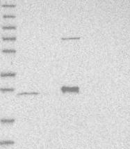NBP1-82319 - MRPS15