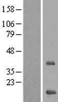 NBL1-13288 - MRPS16 Lysate