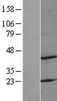 NBL1-13293 - MRPS22 Lysate