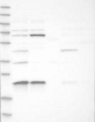 NBP1-84518 - MRPS23