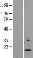 NBL1-13295 - MRPS24 Lysate