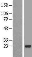 NBL1-13296 - MRPS25 Lysate