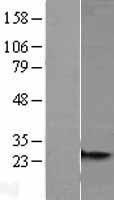 NBL1-13297 - MRPS26 Lysate