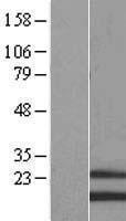 NBL1-13299 - MRPS28 Lysate