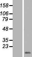 NBL1-13302 - MRPS33 Lysate