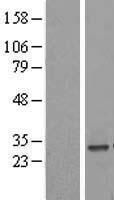 NBL1-13303 - MRPS34 Lysate