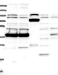 NBP1-82786 - MRPS35