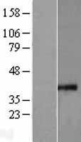 NBL1-13304 - MRPS35 Lysate