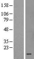 NBL1-13305 - MRPS36 Lysate