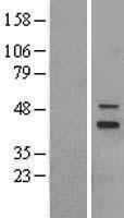 NBL1-13306 - MRPS5 Lysate