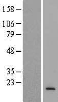 NBL1-13307 - MRPS6 Lysate