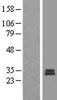 NBL1-13308 - MRPS7 Lysate