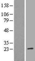 NBL1-13309 - MRRF Lysate