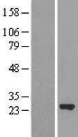 NBL1-13310 - MRRF Lysate