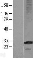 NBL1-13313 - MS4A12 Lysate