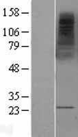 NBL1-13315 - MS4A2 Lysate