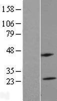 NBL1-13319 - MS4A5 Lysate