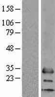 NBL1-13320 - MS4A6A Lysate