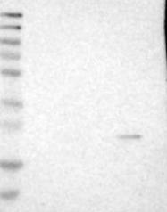 NBP1-86540 - MS4A7