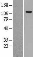 NBL1-13325 - MSH2 Lysate