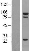 NBL1-13327 - MSH5 Lysate