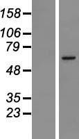 NBL1-13330 - MSL2L1 Lysate