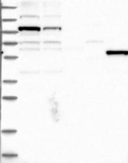 NBP1-87881 - MSL3