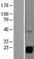 NBL1-13337 - MSRB2 Lysate
